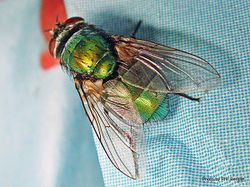 Phil Bendle Collection:Fly (Green Bottle) Lucilia sericata