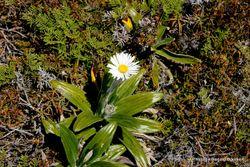 Phil Bendle Collection:Celmisia spectabilis ssp. spectabilis (Common mountain daisy)