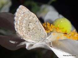 Phil Bendle Collection:Common Blue butterfly (Zizina otis spp.labradus)