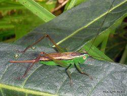 Phil Bendle Collection:Grasshopper (Long horned Grasshopper) Conocephalus upoluensis
