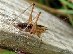 Phil Bendle Collection:Grasshoppers (Conehead katydids) Genus Conocephalus