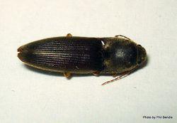 Phil Bendle Collection:Beetle (Click) Conoderus exsul