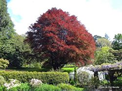 Phil Bendle Collection:Fagus sylvatica Purpurea Group (Copper beech)