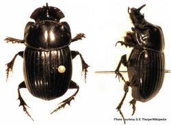 Phil Bendle Collection:Beetle (Dung, Mexican) Copris incertus