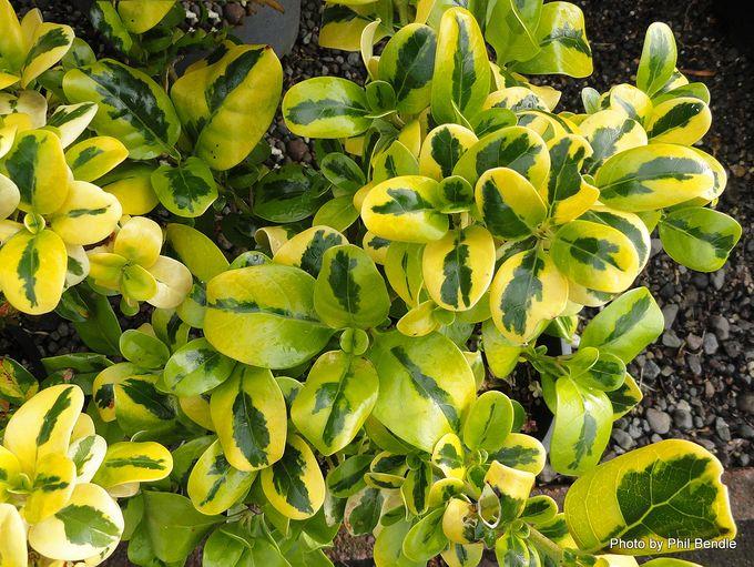 Coprosma Green and Gold-001.JPG