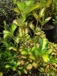 Phil Bendle Collection:Trees (New Zealand Native) Coprosma hybrids & cultivars with photos