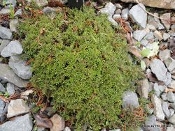 Phil Bendle Collection:Coprosma atropurpurea