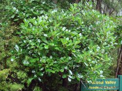 Phil Bendle Collection:Coprosma (Shiny Karamu) Coprosma lucida