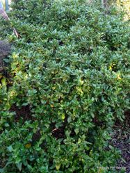 Phil Bendle Collection:Coprosma macrocarpa (Large seeded coprosma)
