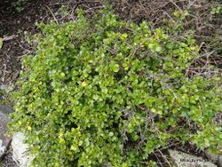 Phil Bendle Collection:Coprosma neglecta