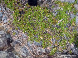 Phil Bendle Collection:Coprosma perpusilla subsp. perpusilla (Creeping Coprosma)