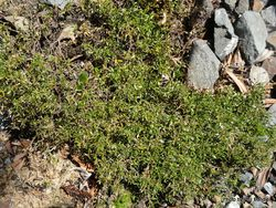Phil Bendle Collection:Coprosma petriei (Turfy coprosma)