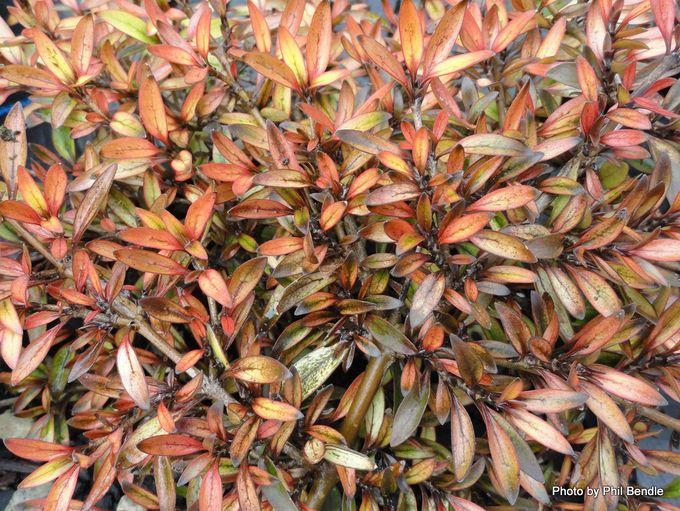 Coprosma propinqa Autumn haze -001.JPG