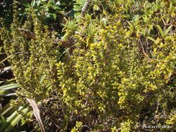 Phil Bendle Collection:Coprosma pseudocuneata (Variable coprosma)