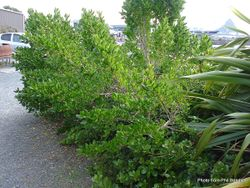 Phil Bendle Collection:Coprosma repens (Taupata)