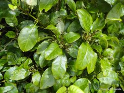 Phil Bendle Collection:Coprosma robusta (Karamu)
