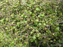 Phil Bendle Collection:Coprosma rotundifolia (Round leaved coprosma)
