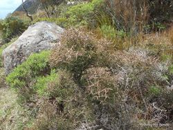 Phil Bendle Collection:Coprosma rugosa (Needle-leaved mountain)