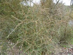 Phil Bendle Collection:Coprosma virescens