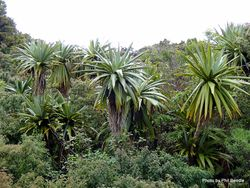 Phil Bendle Collection:Cordyline indivisa (Mountain Cabbage Tree)