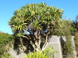 Phil Bendle Collection:Cordyline obtecta (Three Kings Cabbage tree)