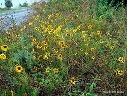 Phil Bendle Collection:Coreopsis tinctoria (Plains coreopsis)