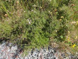 Phil Bendle Collection:Coriaria angustissima (Small leaved tutu)