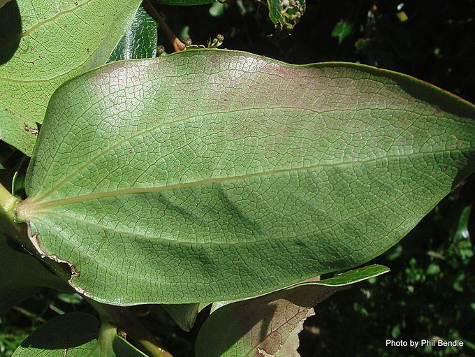 Coriaria arborea Tutu-001.JPG