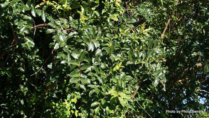 Coriaria arborea Tutu-15.JPG