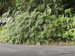 Phil Bendle Collection:Coriaria pteridoides (Mountain tutu)