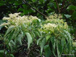Phil Bendle Collection:Cornus amomum (Silky dogwood)
