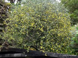 Phil Bendle Collection:Corokia cotoneaster (a form) Corokia cotoneaster 'Paritutu'