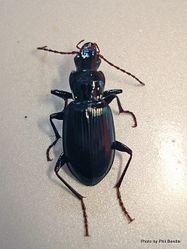Phil Bendle Collection:Beetle (Cosmopollitan) Laemostenus complanatus