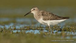 Phil Bendle Collection:Sandpiper (Cox s Sandpiper) Calidris × paramelanotos