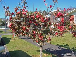 Phil Bendle Collection:Malus species (Crab apples)