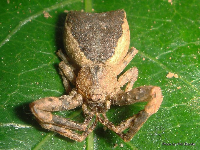 Crab spider Sidymella species-001.JPG