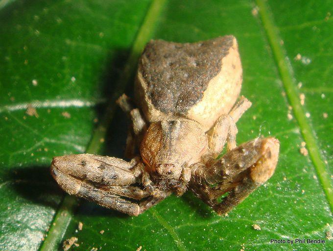 Crab spider Sidymella species.JPG