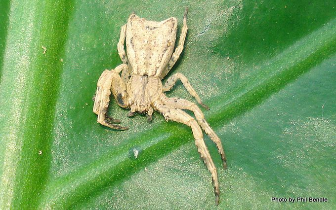 Crab spider of the species Sidymella-1.JPG