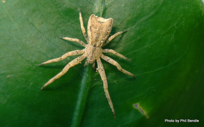 Crab spider of the species Sidymella-3.JPG