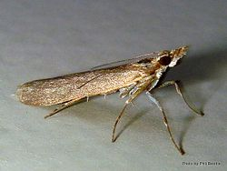 Phil Bendle Collection:Crambidae family (Grass moths)