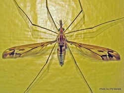 Phil Bendle Collection:Cranefly (Leptotarsus species)