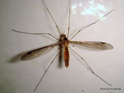 Phil Bendle Collection:Cranefly Superfamily Tipuloidea (600 species in NZ)
