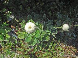 Phil Bendle Collection:Craspedia uniflora var. uniflora (Wollyhead)