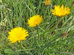 Phil Bendle Collection:Crepis vesicaria (Beaked hawksbeard)