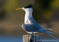 Phil Bendle Collection:Tern (Crested) Thalasseus bergii