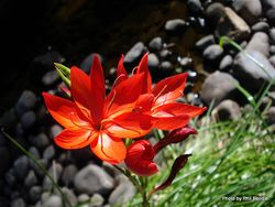 Phil Bendle Collection:Hesperantha coccinea (Kaffir lily)
