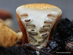 Phil Bendle Collection:Crucibulum laeve (Brown Bird Nest Fungi)