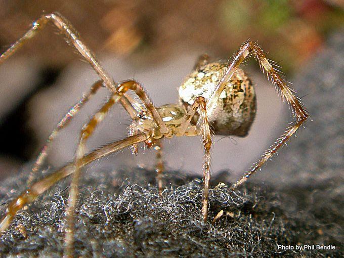 Cryptachaea gigantipes White porch spider-004.JPG