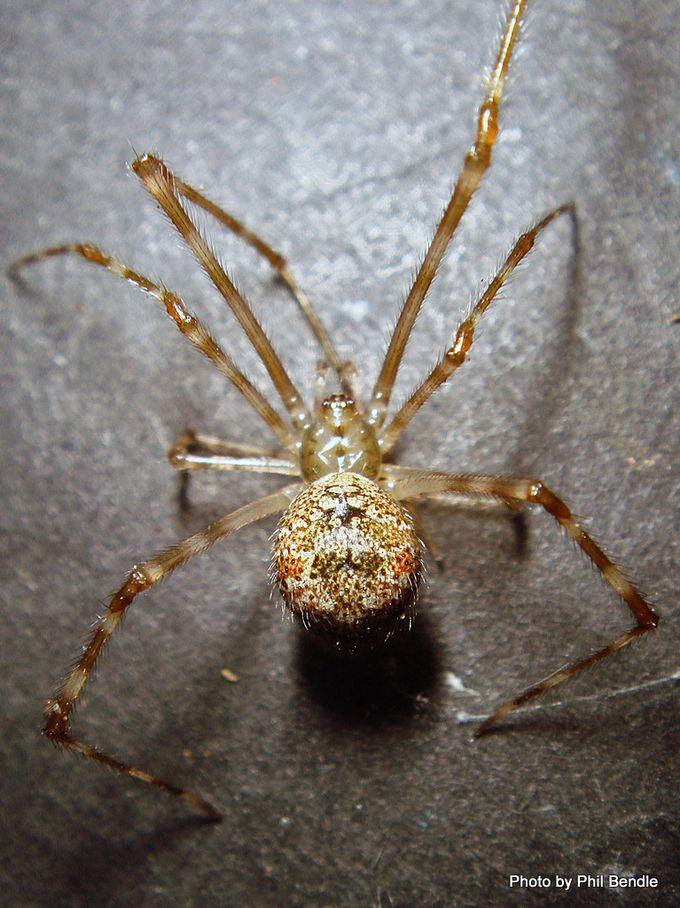 Cryptachaea gigantipes White porch spider.JPG