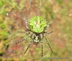 Phil Bendle Collection:Orbweb spider (Ladder web Spider) Cryptaranea atrihastula